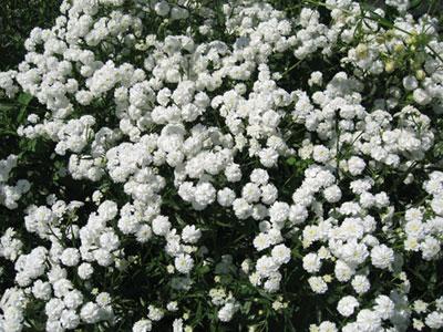 Купить садовые цветы в уфе английские розы дэвида остина купить саженцы в москве